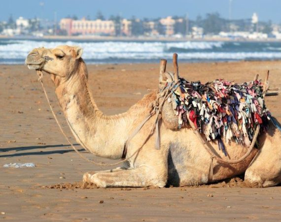 Camel in Essaouira